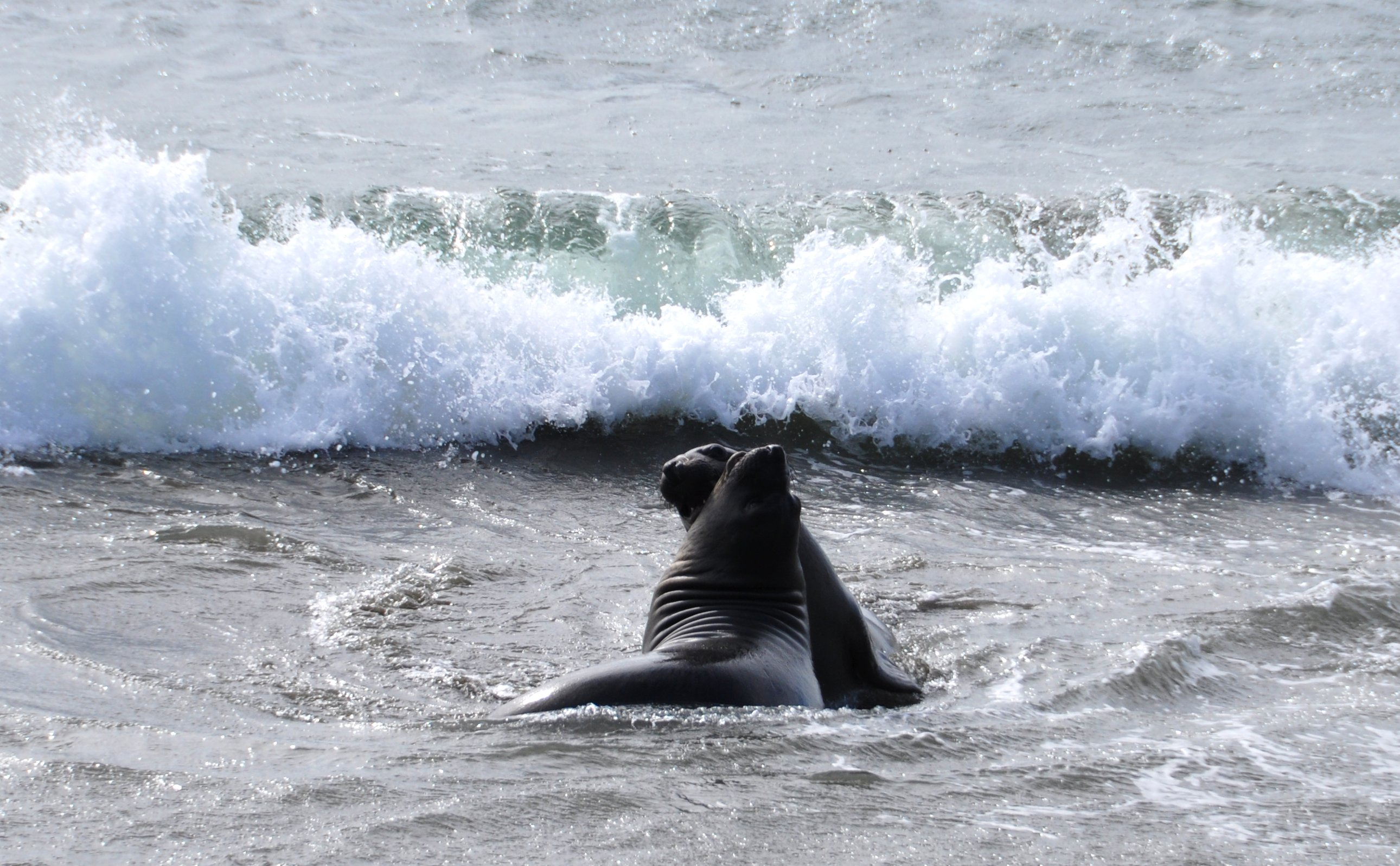 Young male elephant seals sparring