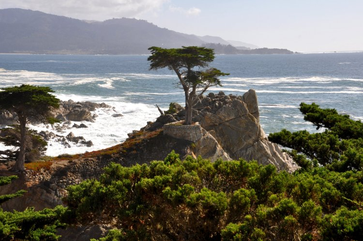 Lone cypress at Carmel