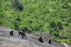 Baboons visiting at Rwakobo Rock