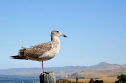 Seagull at Jalama Beach